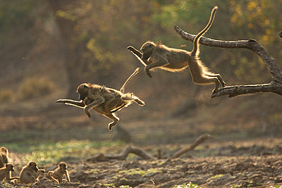 Baboons leaping from branch, Mana Pools National Park,  Zimbabwe, Africa - p924m805922f by David Fettes