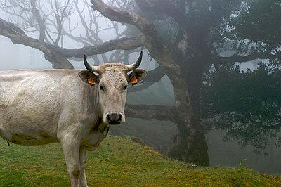 Kuh in einem Lorbeerwald - p9790071 von Kesler