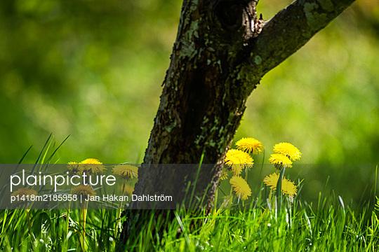 Dandelions behind tree   - p1418m2185958 by Jan Håkan Dahlström