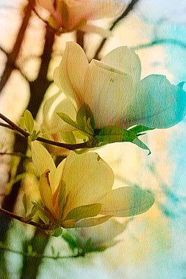 Magnolienbaum - p450m902843 von Hanka Steidle