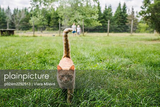Canada, Ontario, Kingston, Ginger cat walking on grass - p924m2292513 by Viara Mileva