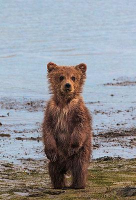 Brown bear cub - p1100m887873f by Art Wolfe