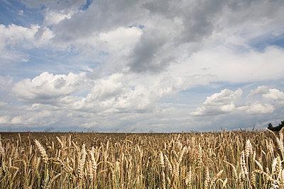 Cornfield with thunderclouds - p2686554 by Jana Kay