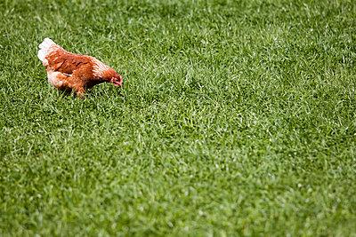Huhn auf der Wiese - p739m791812 von Baertels