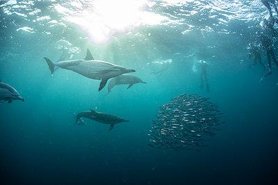 Sardine baitballs being hit by multiple predators - p924m2165053 by Rodrigo Friscione