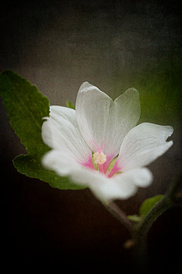 Close-up of a mallow flower - p1047m1161878 by Sally Mundy