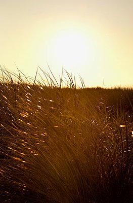 Strandgras im Gegenlicht - p382m2053126 von Anna Matzen