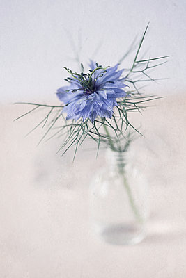 Close up of Love in a Mist in bottle - p1470m1539166 by julie davenport