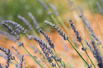View of lavender flower - p300m797775f by Achim Sass