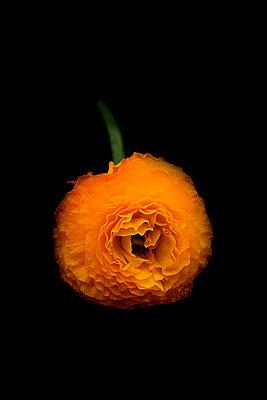 Ranunculaceae - p977m955841 by Sandrine Pic