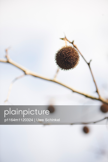 Platane - p1164m1120324 von Uwe Schinkel