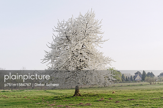 Cherry tree - p751m1584767 by Dieter Schwer