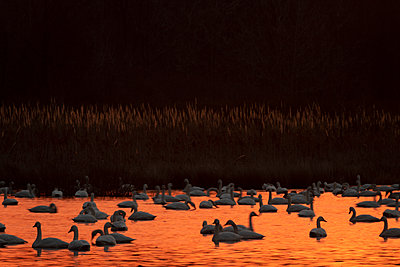 Tundra Swans backlight by the orange sunrise - p1480m2148215 by Brian W. Downs