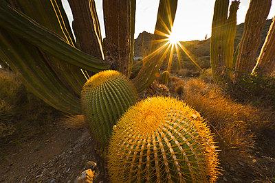 Endemic giant barrel cactus, Baja California Sur, Mexico, North America - p871m757312 by Michael Nolan