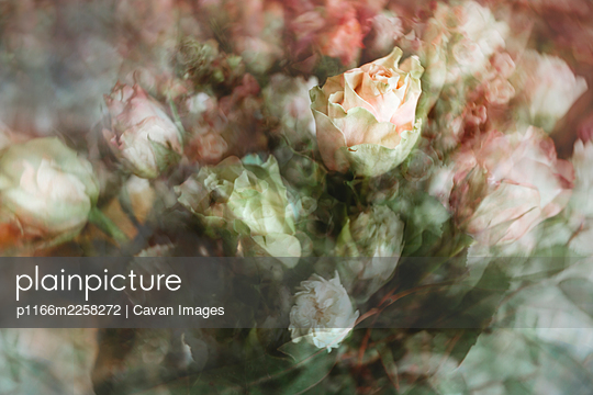 Abstract view of cut roses, lisianthus, pink and white flowers - p1166m2258272 by Cavan Images