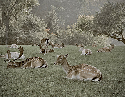 Red deer - p26814816 by Nader Kabbany