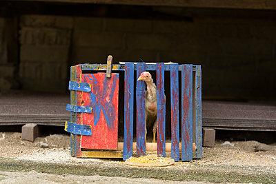Huhn in einer Holzkiste - p1273m1492078 von Melanka Helms