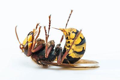 European hornet, supine position, Vespa crabro - p1437m2057088 by Achim Bunz