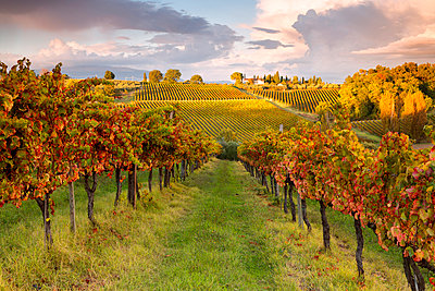Europe, Italy, Umbria, Perugia district, Montefalco.  Vineyards in autumn - p651m2006520 by ClickAlps