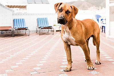 Dog on terrace - p1076m1170275 by TOBSN