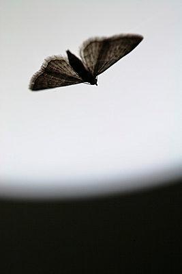 Moth in flight - p5500188 by Thomas Franz