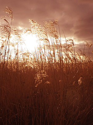 Grass at sunset - p597m1574266 by Tim Robinson