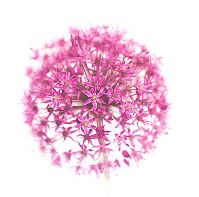 Allium Flower against White Background - p694m2068425 by Lori Adams