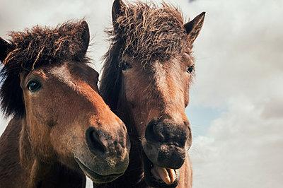 Porträt zwei Islandpferde - p947m1589041 von Cristopher Civitillo