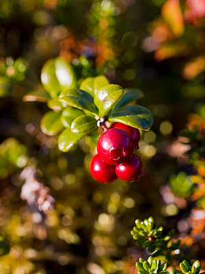 Red lingon berries - p4263733f by Tuomas Marttila