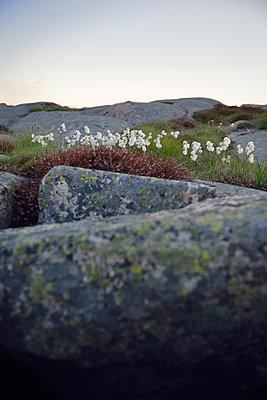 Cotton-grass - p715m880608 by Marina Biederbick