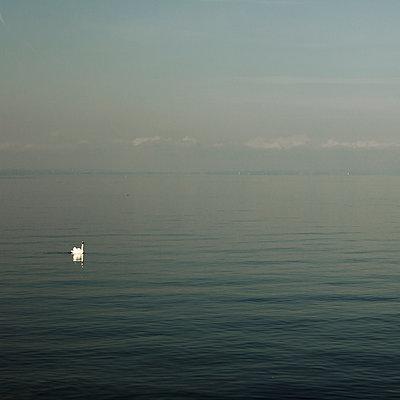 Schwan auf dem Bodensee - p415m952954 von Tanja Luther