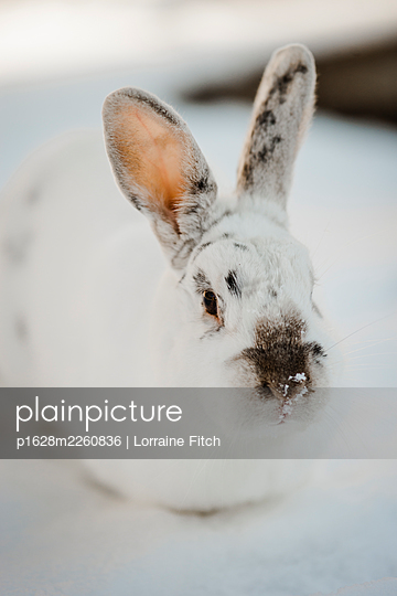 White bunny rabbit in the snow - p1628m2260836 by Lorraine Fitch