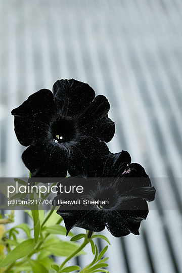 Black petunia flowers with green leaves  - p919m2217704 by Beowulf Sheehan