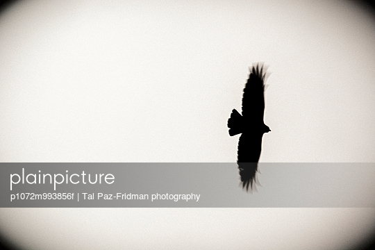 Hooded crow - p1072m993856f by Tal Paz-Fridman photography