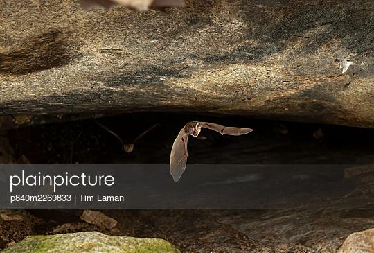 Kolar leaf-nosed bat (Hipposideros hypophyllus) flying, endemic to one cave in Hanumanahalli village, Karnataka, India. December. - p840m2269833 by Tim Laman