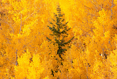 Elevated view over the tops of the aspen trees in the Dixie National Forest in autumn. - p1100m888020f by David Schultz
