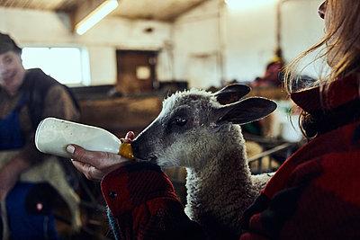 Lamb feeding - p1573m2278146 by Christian Bendel