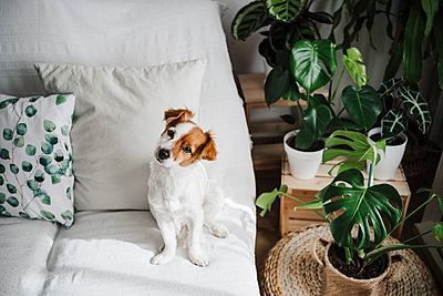 Cute Jack Russell Terrier on sofa in living room at home - p300m2264993 by Eva Blanco