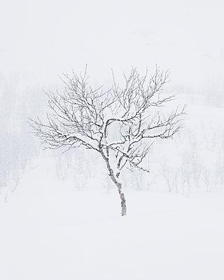 Sweden, Lapland, Riksgransen, Single bare tree in winter - p352m1186985 by Gustaf Emanuelsson