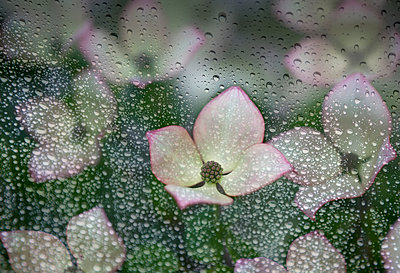 Raindrops on glass with a view of pink dogwood blossoms; British Columbia, Canada - p442m1147881 by Debra Brash