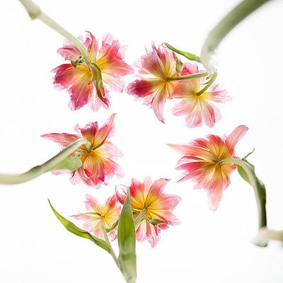 Tulips from below - p824m2116922 by jochen leisinger