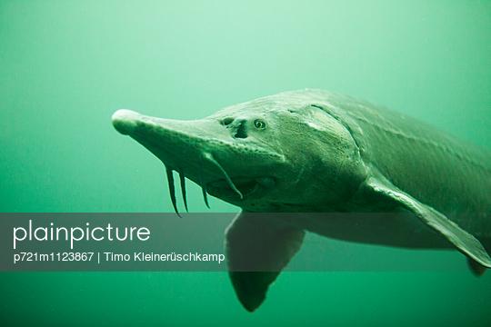Stör Unterwasser - p721m1123867 von Timo Kleinerüschkamp