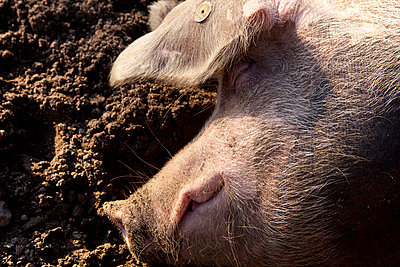 Sleeping pig - p781m970806 by Angela Franke