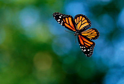 Monarch butterfly flying - p884m864705 by Stephen Dalton