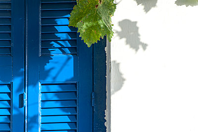 Vine leaf before blue closed shutters on a whitewashed wall. - p1433m1529105 by Wolf Kettler