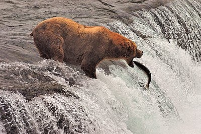 Grizzly bear(Ursusarctosssp.) hunting for fish in river, Katmai National Park, Alaska, USA - p1166m2201473 by Beck Photography