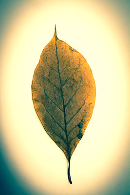 One leaf in studio - p813m1016169 by B.Jaubert