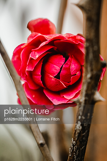 Red rose - p1628m2233801 by Lorraine Fitch