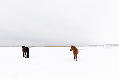 Horses in snow covered field - p352m2120087 by Åke Nyqvist