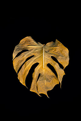 Leaf of a philodendron - p876m943381 by ganguin